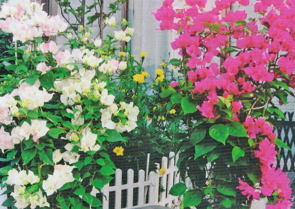 HB-101でブーゲンビリアは年に2度、花が咲き、鮮やかな色で素晴らしいです。
