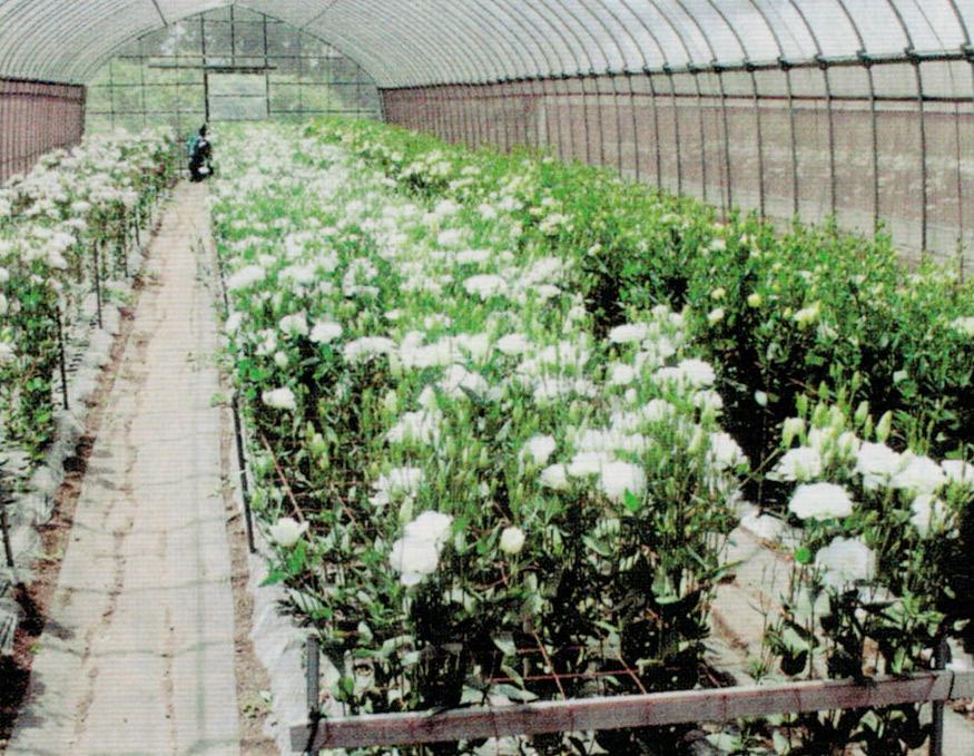 HB-101でしっかりとしたトルコギキョウの苗を作る事で、夏の高温時期でも2Lサイズを中心に90%以上、出荷しています。