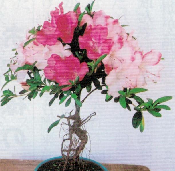 HB-101のおかげでサツキが美しく咲きます。