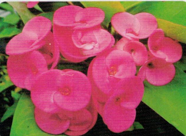 HB-101のおかげでハナキリンが大きく、見事な色合いで咲きます。
