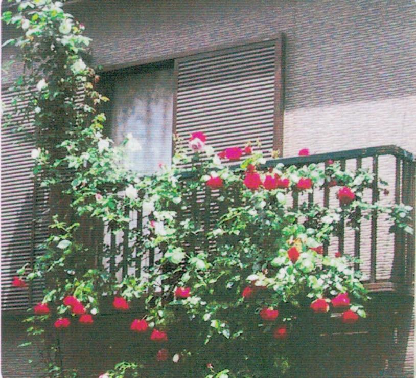 HB-101で赤、ピンク、黄、白、紫と5色の大輪のバラの花が咲き誇りました。