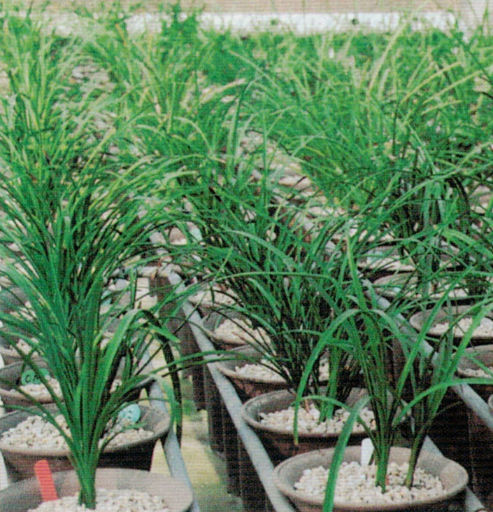 HB-101と顆粒HB-101で蘭の生長が素晴らしいです。