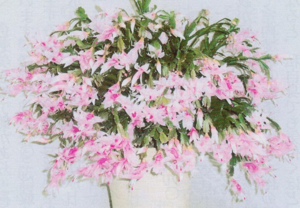 HB-101のおかげでシャコバサボテンは今年も元気良く生長し、見事に咲いてくれました。