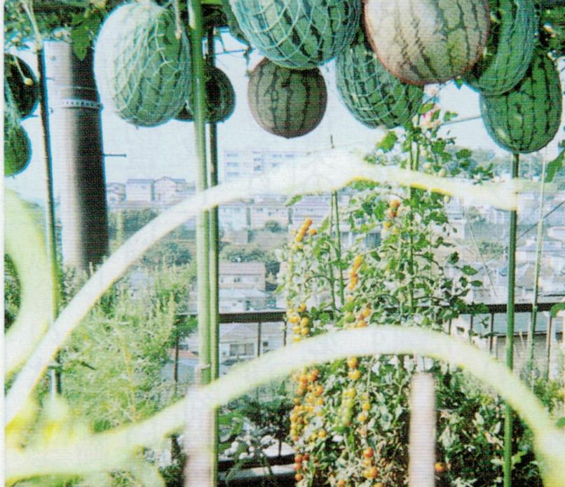 HB-101で3本の苗から小玉スイカが30個も生りました。味も良くて評判は上々でした。