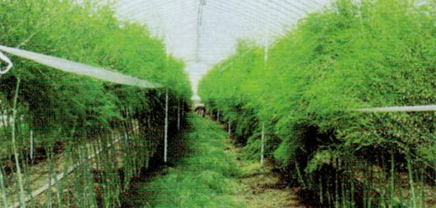 HB-101と顆粒HB-101でアスパラガスが旺盛に出始めました。バイヤー様から大人気になりました。