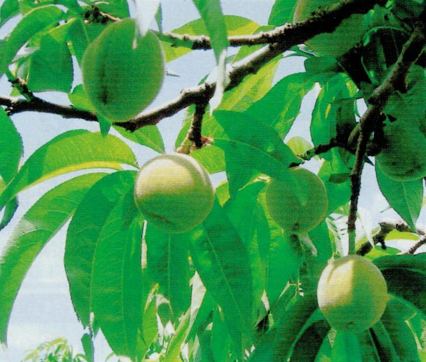 おいしい桃作りのポイントは育苗期の灌水と土作りとHB-101の葉面散布です。
