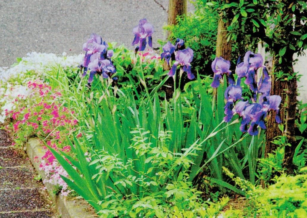HB-101のおかげで思いのほか、どの花も早く咲き、花の色も今年は綺麗に感じられます。