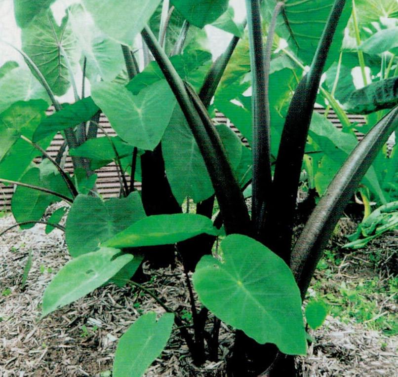HB-101で里芋の媛かぐやの生長が見事です。