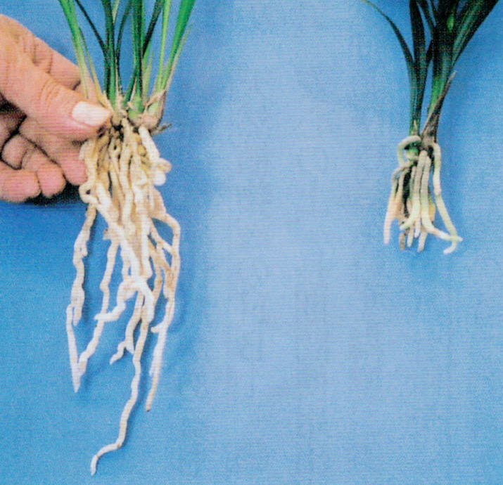 植え替え直後(右)と2年後(左)の根の比較です。HB-101のおかげでとても根の生育が良いです。