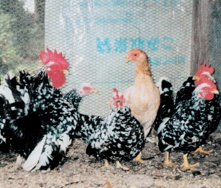 HB-101とニャンケンポンとニオイワンダフルのおかげで皆元気良く卵を産みます。