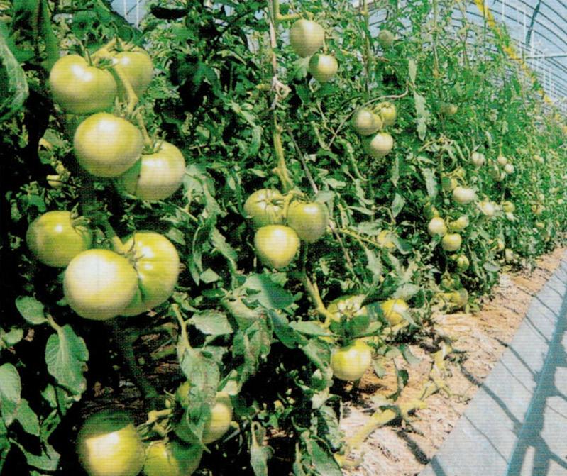 HB-101でトマトが糖度、酸味のバランス、味、全て日本一です。HB-101で毎年反当15トン以上、収穫できています。