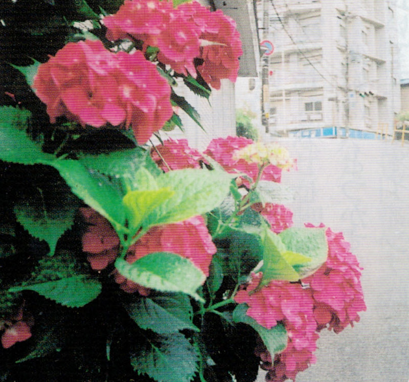 HB-101で紫陽花の花の色が格別に美しく、大輪で花数も多いです。