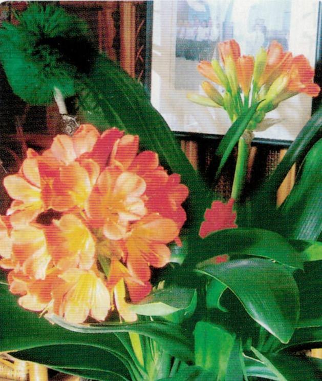 HB-101で君子蘭がとても美しく、綺麗に咲きました。
