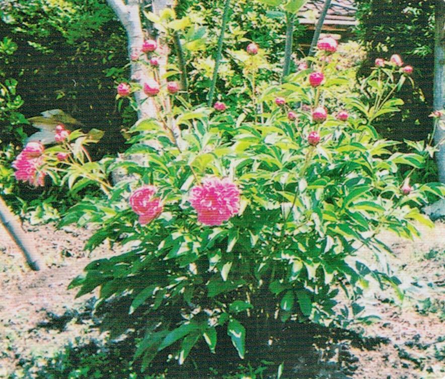 HB-101のおかげでシャクヤクが1本の茎から花が4本も出て、見事な花が咲きました。