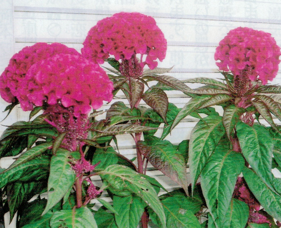 HB-101でトサカケイトウが見事な花の色と大きさになります。