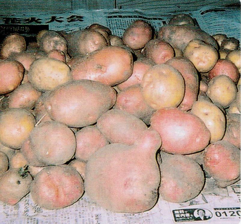 HB-101と顆粒HB-101のおかげでジャガイモがたくさん、たくさん出来ました。