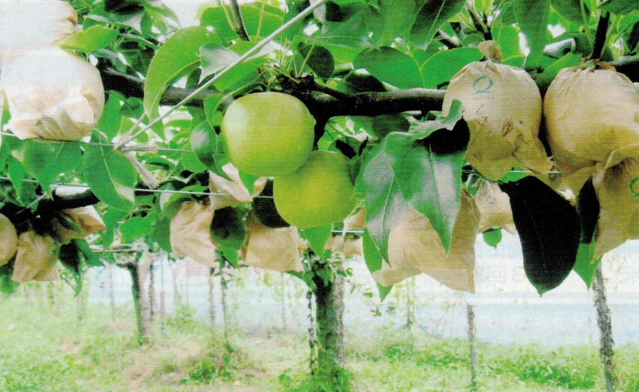 HB-101のおかげで20世紀梨の生育が活発になり、病気、害虫が少なくなります。