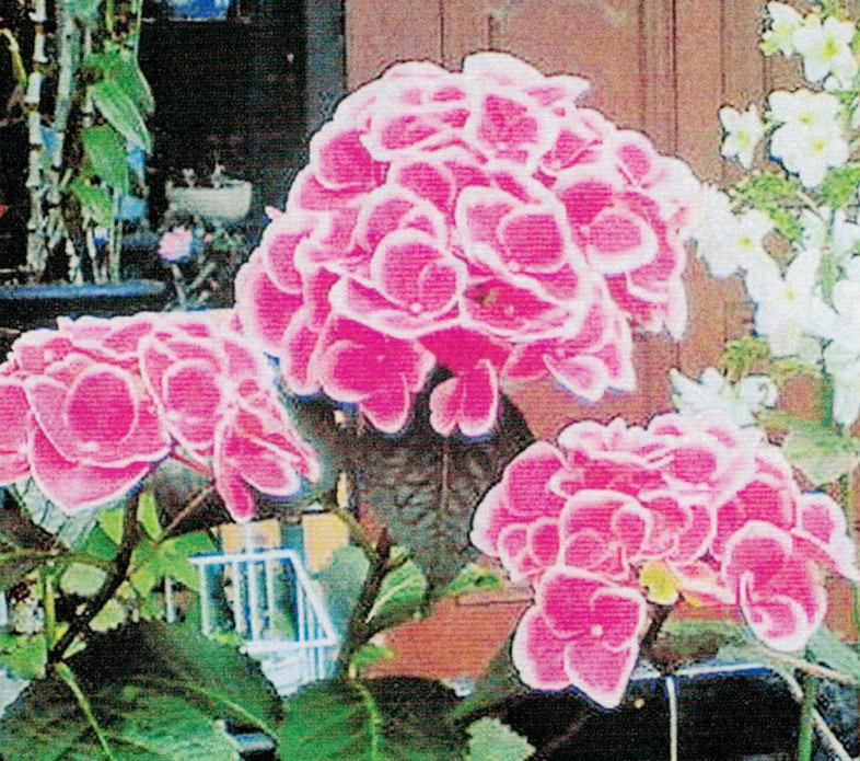 HB-101と顆粒HB-101と活力肥HB-101で、ピンクのアジサイの花が見事で、巨大に咲き誇りました。