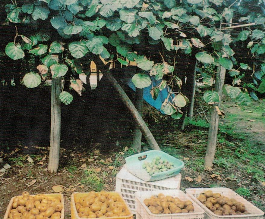 HB-101で収穫が増えたキウイフルーツ(手前)と、フェイジョア(水色の籠)です。