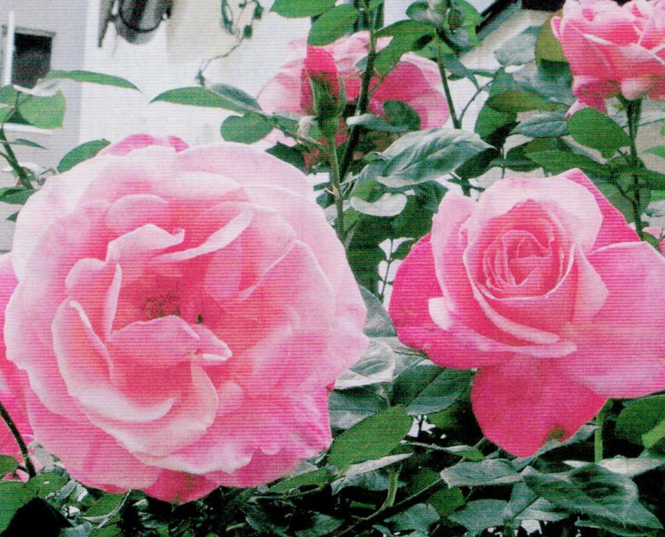 HB-101でバラの花数が多くなりました。