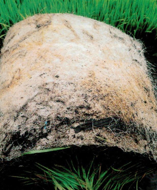 HB-101を散布した苗は、丈夫で発根がすごいです。