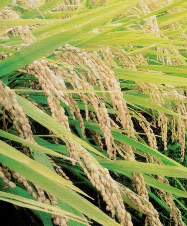 HB-101で育てた稲穂は長く、米粒は大きく、しっかり実が入っています。