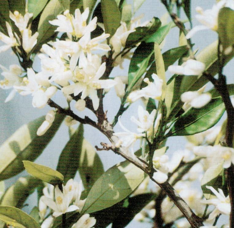 花が着かなかったミカンの木に、HB-101のおかげで花がたくさん着きました。