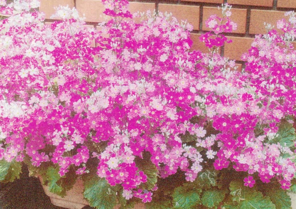 HB-101のおかげで葉っぱが活き活きと育ち、食べたいほど元気に育ち、花もそれはそれは美しく、長い間咲き続けてくれました。