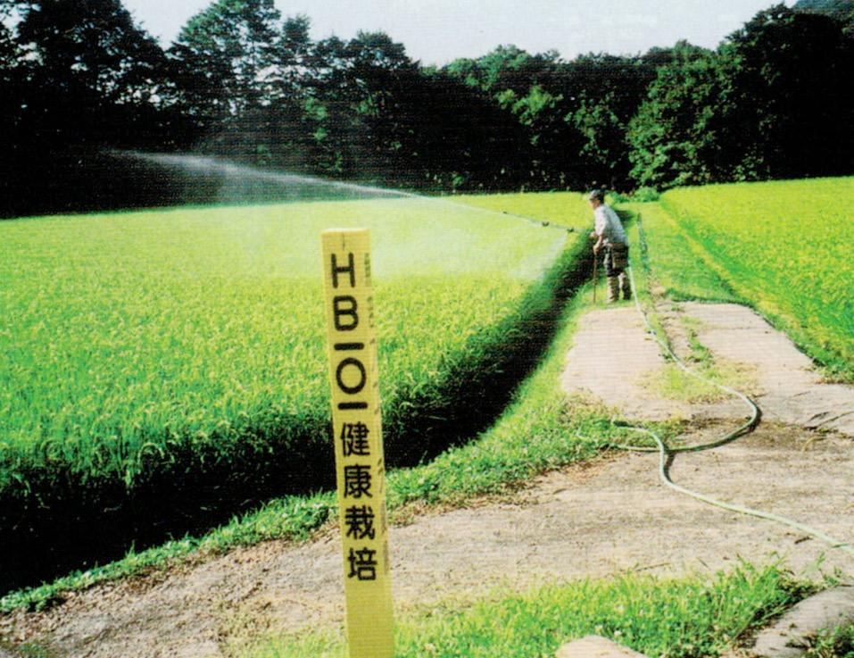 HB-101のおかげで1房に、粒の揃ったお米が150粒も着きました。魚沼産コシヒカリです。