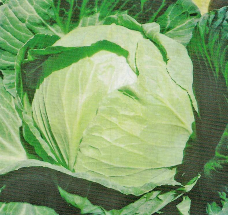 HB-101と有機肥料のみ使用して出来たキャベツは、病気、害虫に侵されず、綺麗です。