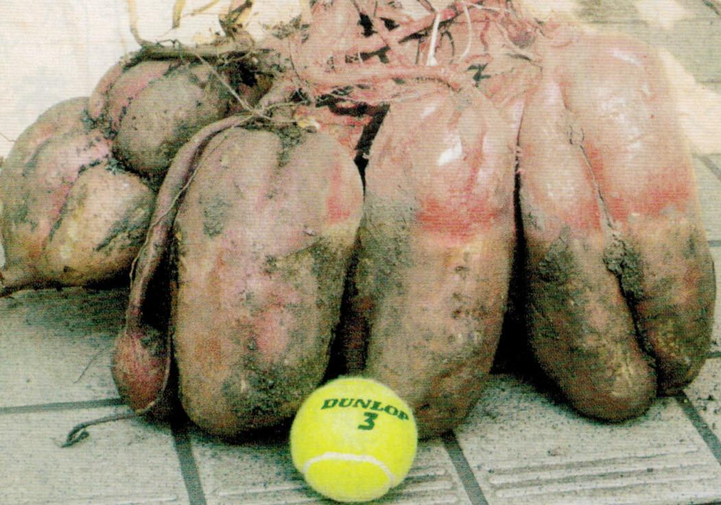 HB-101のおかげで大きく育った芋です。硬式テニス用ボールと比較して下さい。