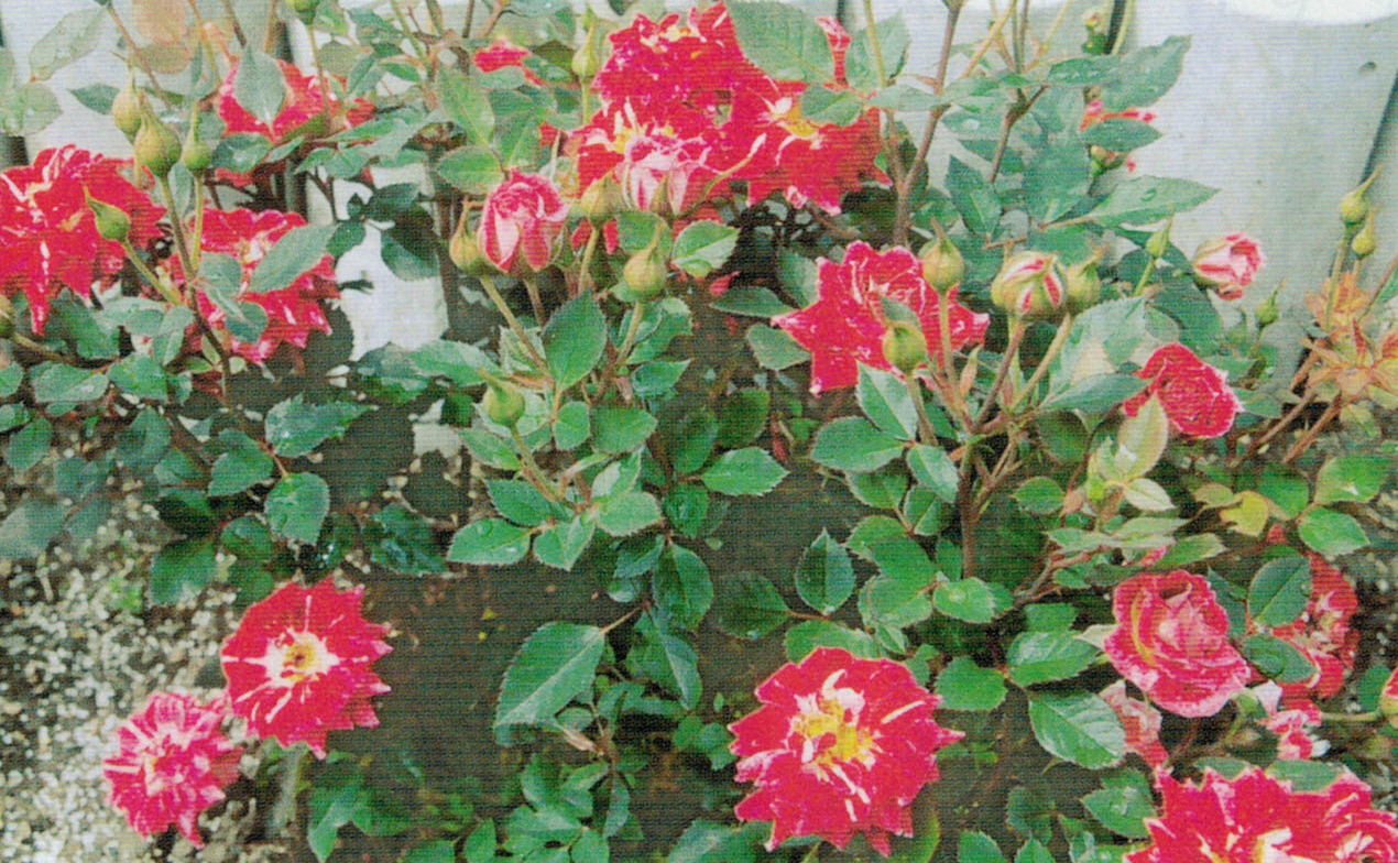 HB-101の活躍で、バラがたくさんの綺麗な花を咲かせてくれます。