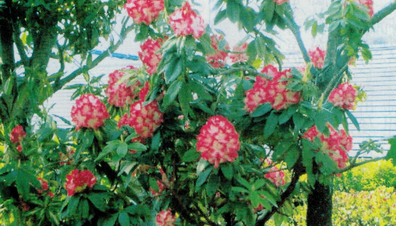 HB-101で花が70個以上も咲いた西洋シャクナゲです。