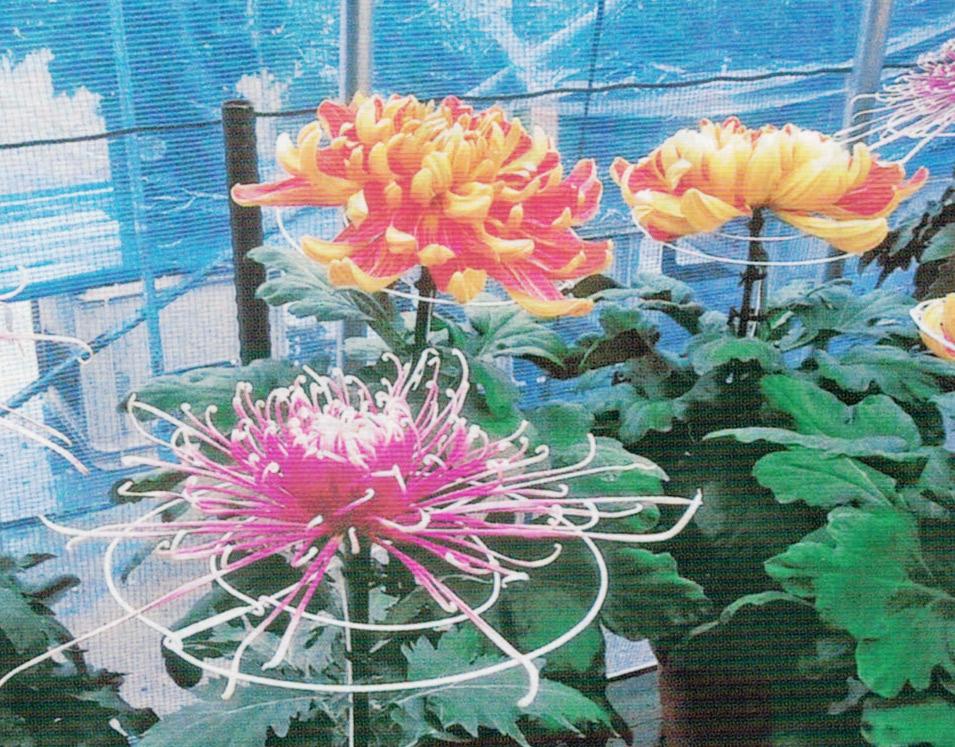 HB-101と顆粒HB-101で着け芽が簡単で、花は大きく、発色の良い菊が良く育ちます。