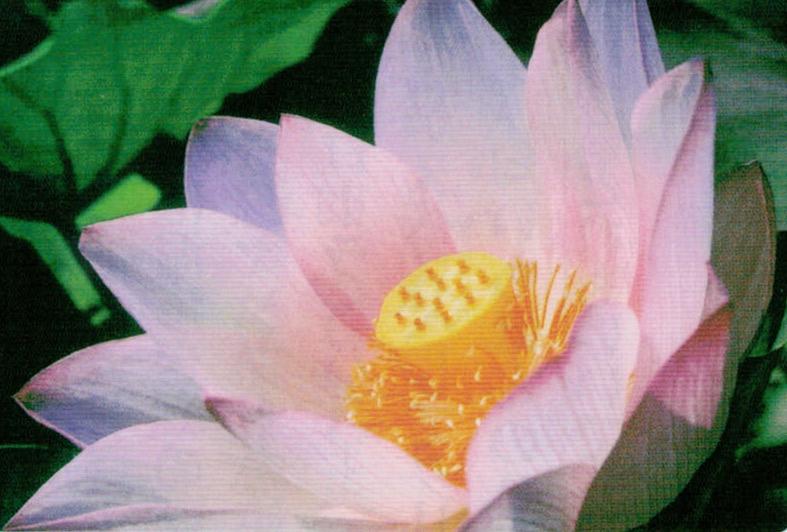 HB-101のおかげで大賀ハスの花芽が例年の倍以上の15個出来ました。