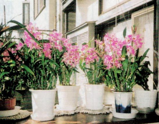 HB-101のおかげでたくさんの洋ランの花が咲きます。