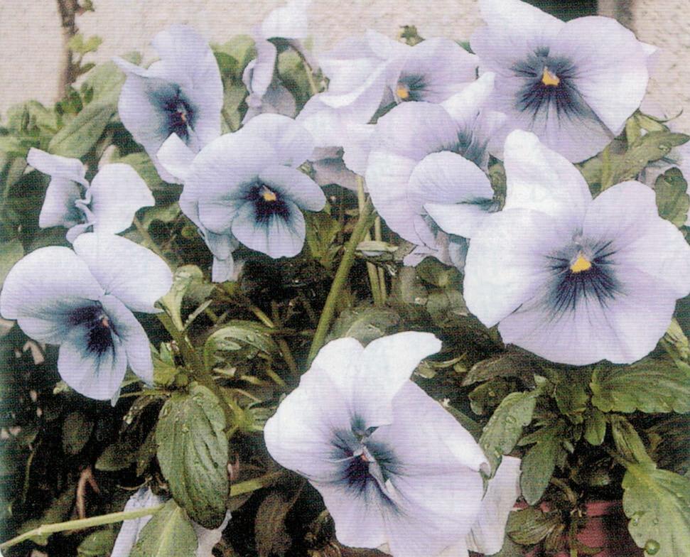 HB-101を使うと、どの花も生き生きと元気、元気です。
