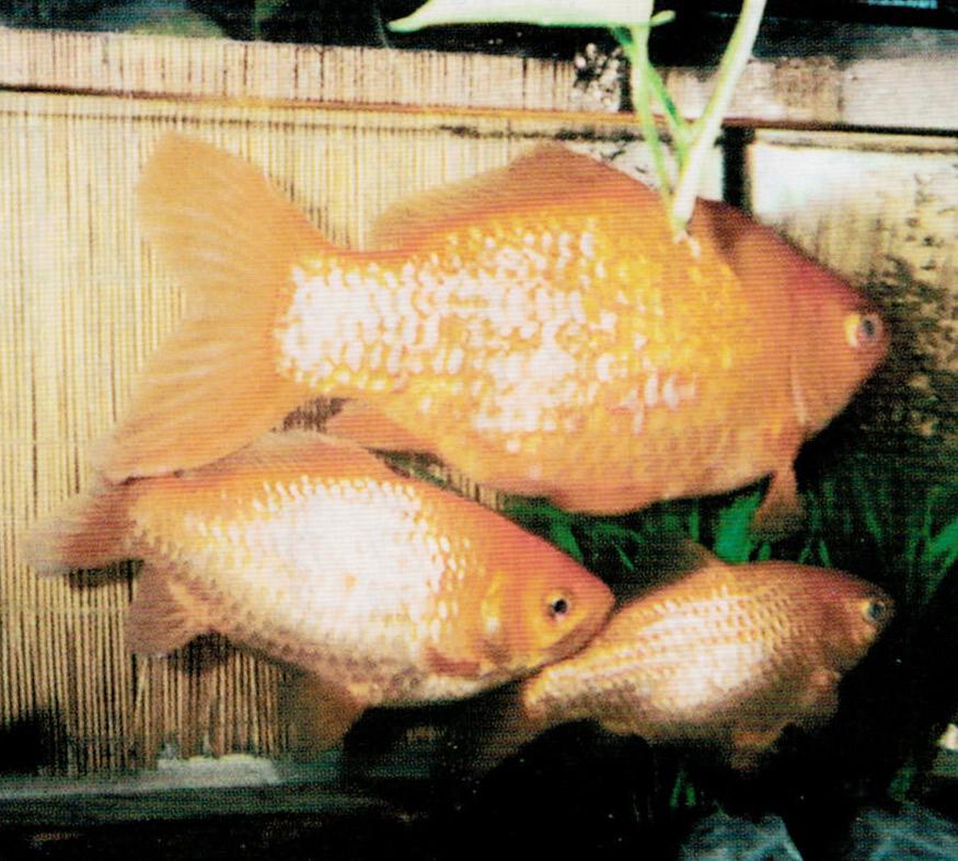 動かなかった金魚がHB-101で元気になりました。