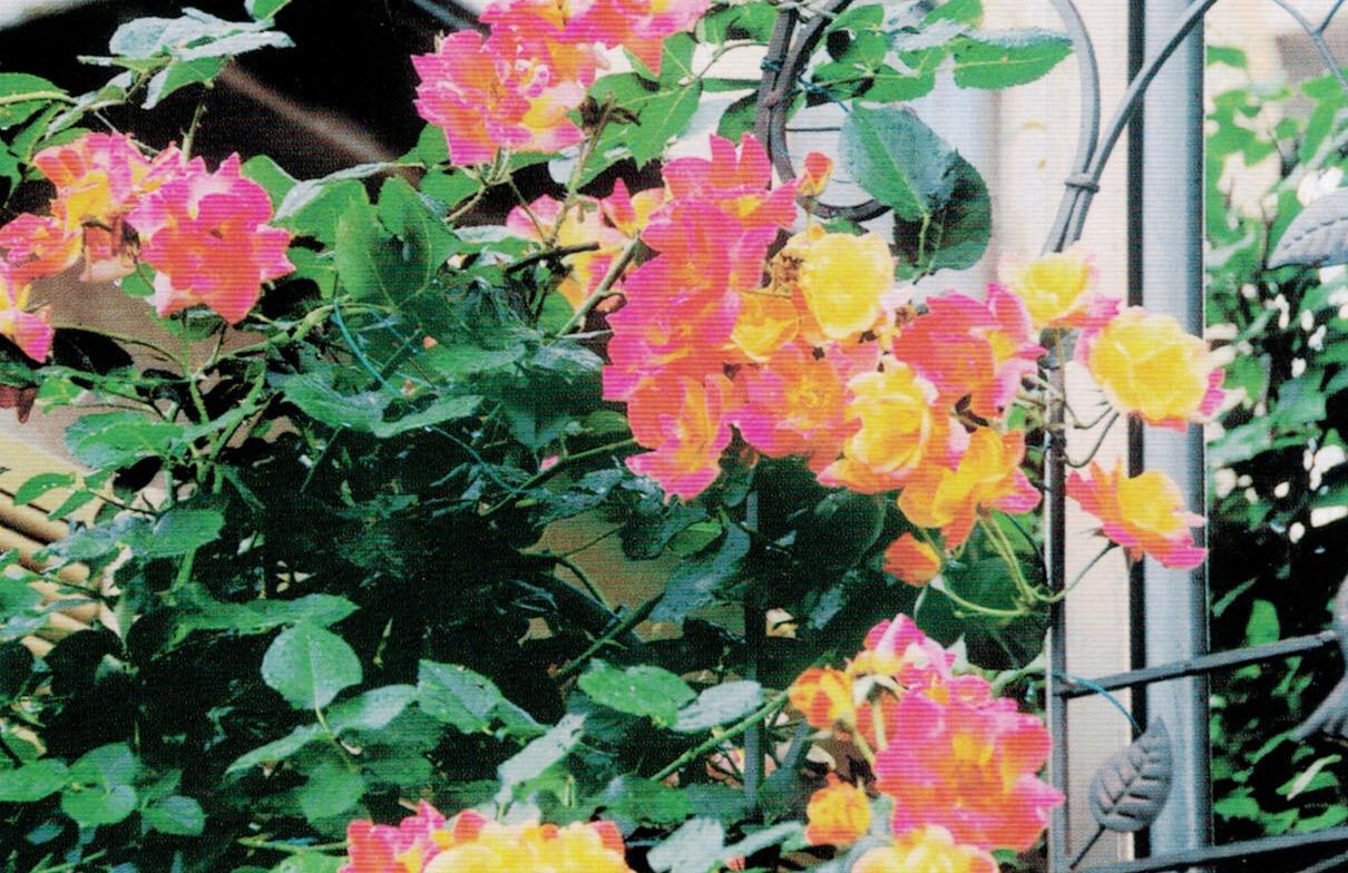 HB-101で花々は美しい姿を競い合っています。