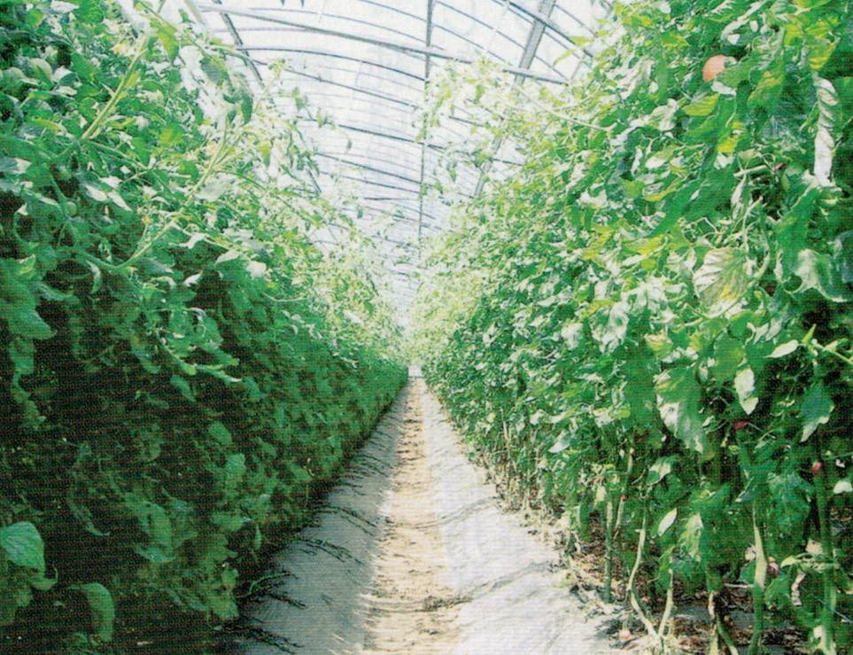 ハウス4棟で、トマトを1年中収穫できるようにHB-101で栽培しています。