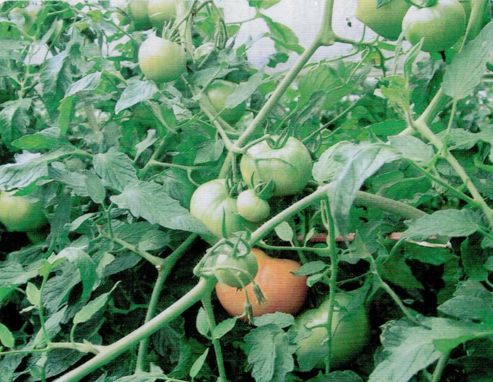 HB-101をトマト栽培に使うと、入り艶、形が整い、重めで、とにかく糖度が上がり、甘くておいしい味になります。