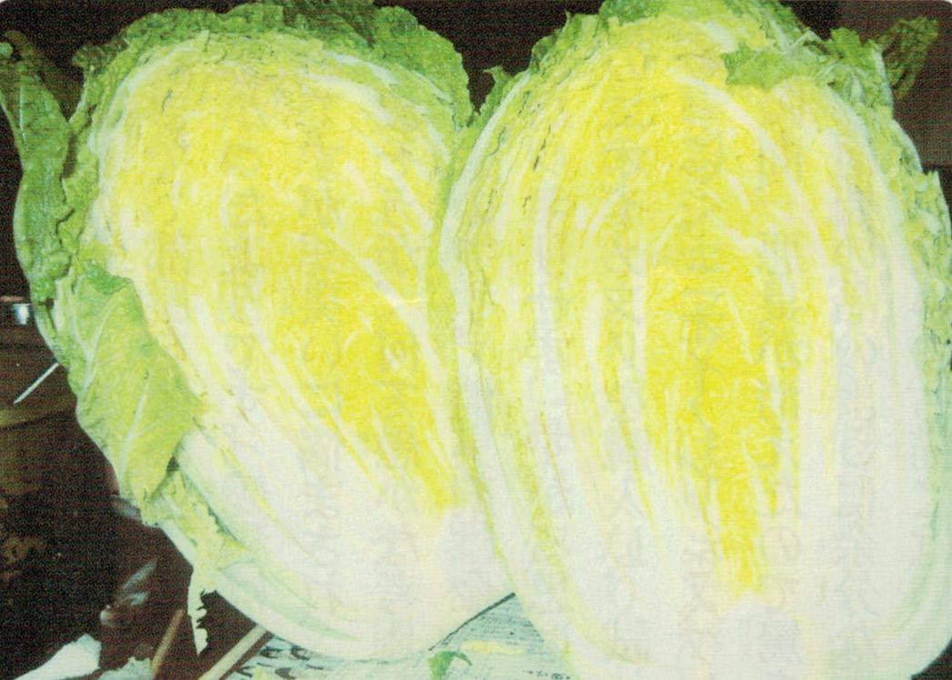 HB-101を使ってはじめて挑戦した白菜は、ご覧の通り素晴らしい出来です。