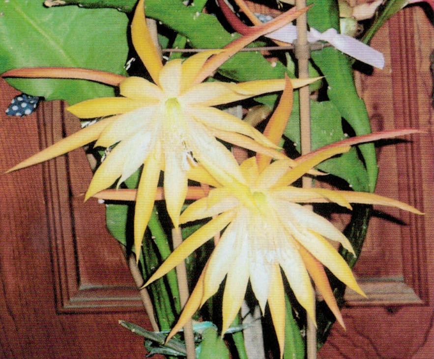 HB-101のおかげで1年に2回、クジャクサボテンの花が咲きました。