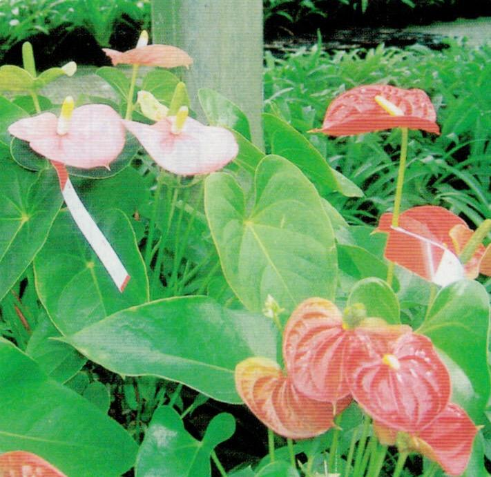 HB-101は病気や害虫を抑える効果があり、農薬の散布が減ります。この花はアンスリューム・フローラです。