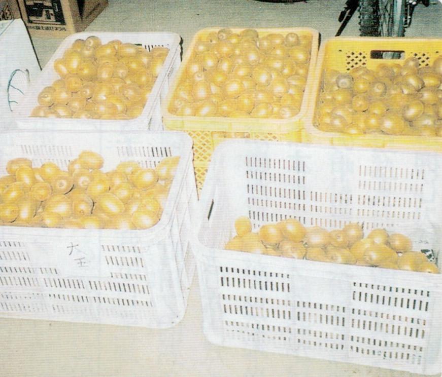 HB-101で食べきれないほどのキウイフルーツが収穫出来ました。