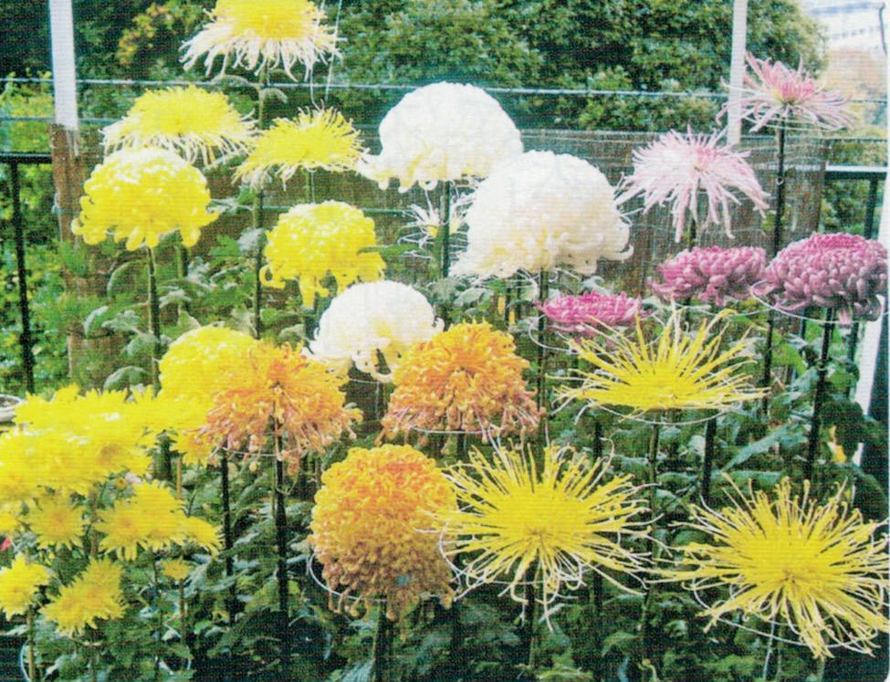 HB-101と顆粒HB-101で、今までにない色鮮やかで見事な大輪菊が出来ました。