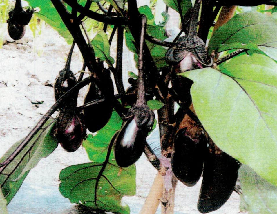 HB-101で昨年はナスを11本植えて1229個収穫出来ました。