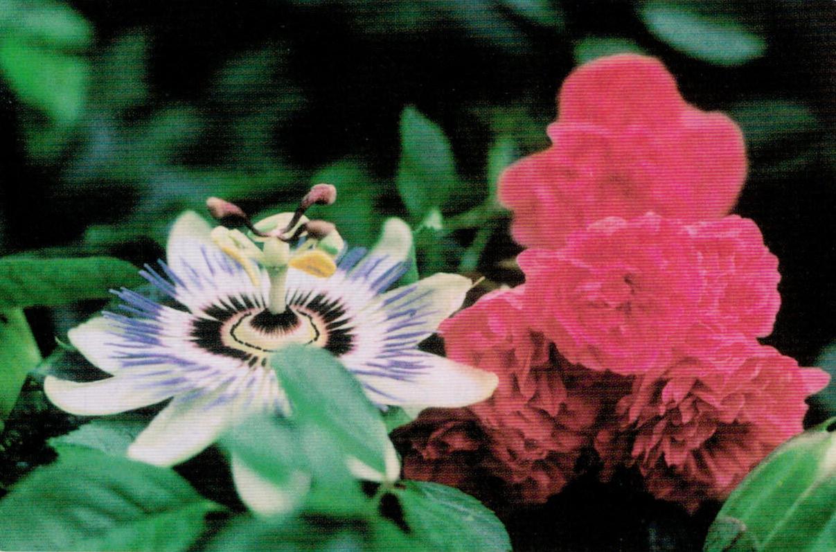 HB-101で綺麗に咲いてくれます。