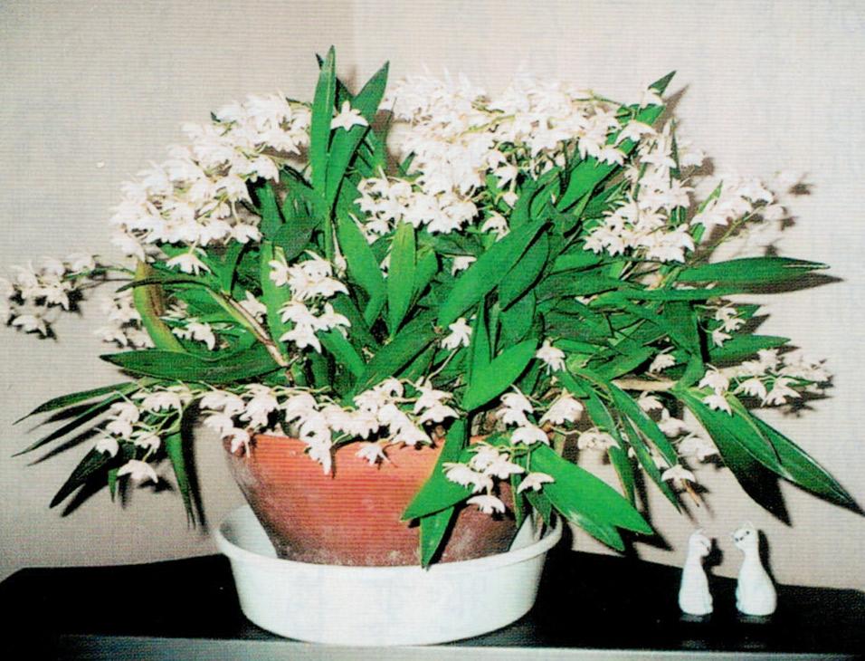 顆粒HB-101で蘭の花が見事に咲き、良い香りが部屋中に広がります。