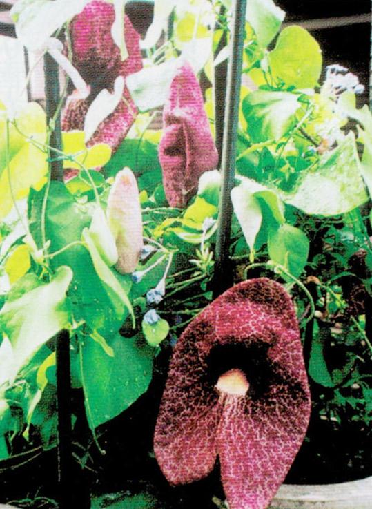 HB-101と顆粒HB-101で珍しい花が咲きました。
